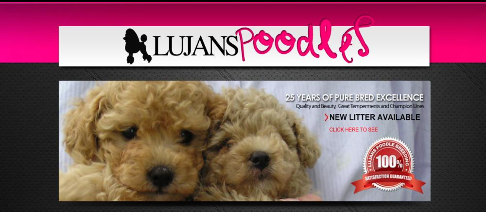 Lujans Poodles Poodle Puppies For Sale On Long Island New